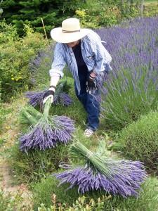 Susan harvesting lavender